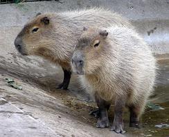 Капибара, крупнейший ныне живущий грызун, может весить до 91 кг