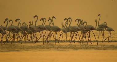 Greater Flamingo at Rann of Kutch