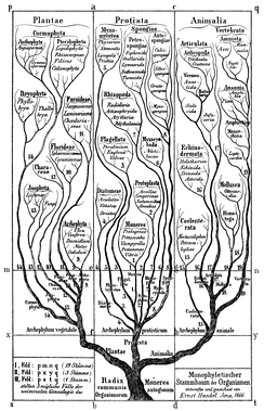 "Early phylogenetic tree by Haeckel, 1866. Groups once thought to be more advanced, such as birds (""Aves""), are placed at the top."