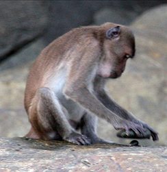 A crab-eating macaque using a stone tool to crack open a nut.