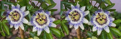 Two Passiflora caerulea flowers arranged as a stereo image pair for viewing by the cross-eyed viewing method (see Freeviewing)