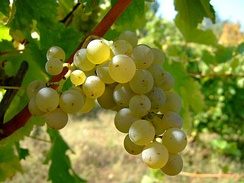 Sauvignon blanc is the principal grape of Sancerre and Pouilly-Fumé, found in the Loire Valley.