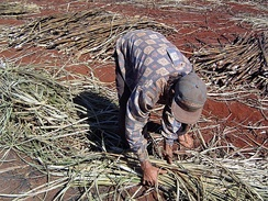Barley slavery in a sugar plantation in the country.