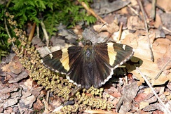 Golden banded-skipper, Autochton cellus