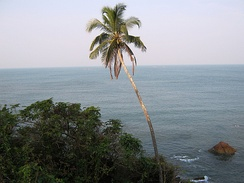 Coconut tree in Kannur Beach, India