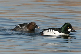 Common goldeneye couple, male on the right.