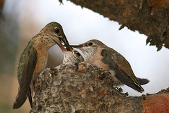 Hummingbird perched on edge of tiny nest places food into mouth of one of two chicks