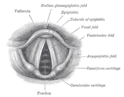 A labeled anatomical diagram of the vocal folds or cords.