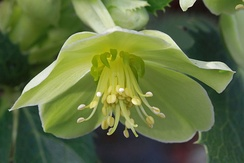 The small green petals of Helleborus argutifolius act as floral nectaries. The sepals function as petals.
