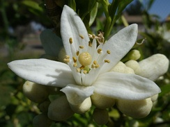 A closeup of an orange blossom