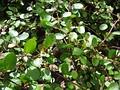 Кладодии у мюленбекии (Muehlenbeckia complexa)