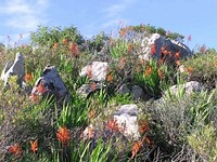 Lowland fynbos, in this case Hangklip Sand Fynbos on the Cape Peninsula