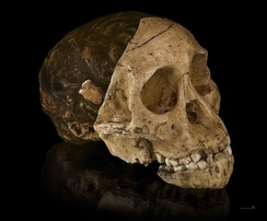 Cast of the skull of the Taung child, uncovered in South Africa. The Child was an infant of the Australopithecus africanus species, an early form of hominin