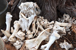 Bones of slaughtered cattle on a farm in Namibia