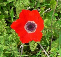 Cropped image of Anemone coronaria, aspect ratio 1.065, in which the flower fills most of the frame