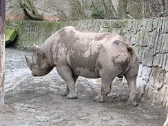 Окрас шкуры носорога зависит от цвета почвы