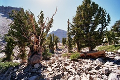 A grove of Great Basin bristlecone pines