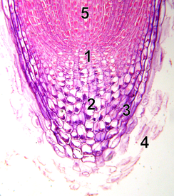 10x microscope image of root tip with meristem 1 - quiescent center  2 - calyptrogen (live rootcap cells)  3 - rootcap  4 - sloughed off dead rootcap cells 5 - procambium