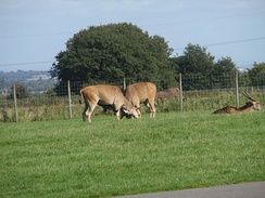 Two male elands fighting over dominance, Knowsley Safari Park