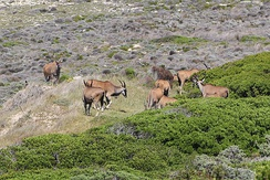 Common elands at Cape of Good Hope, South Africa.