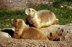 Prairie dogs enjoy special protection in Boulder.