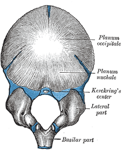 Figure 3 : Occipital bone at birth.
