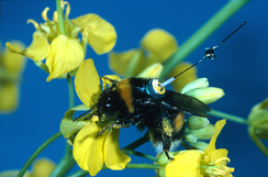 A bumblebee worker with a transponder attached to its back, visiting an oilseed rape flower
