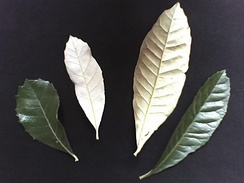 Discolorous leaves of Brachylaena discolor differ in colour between their upper and lower surfaces.
