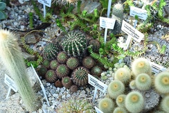 Cactaceaeː Gymnocalycium Matoensea at Yale's Marsh Botanical Garden.