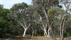 A dry sclerophyll bushland in Sydney with eucalyptus trees (Royal National Park, Sutherland Shire)
