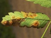 Gymnosporangium tremelloides 1 beentree.jpg
