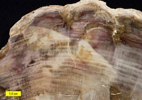 Petrified wood. The internal structure of the tree and bark are maintained in the permineralization process.