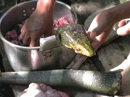 The lizard Varanus bitatawa is a common food for indigenous people in parts of the Philippines.