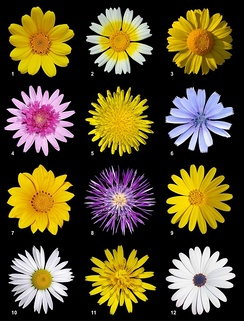 A poster of twelve different species of flowers of the Asteraceae family