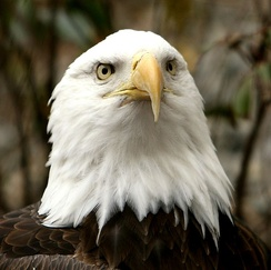 With forward-facing eyes, the bald eagle has a wide field of binocular vision.