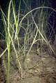 Взморник, одно из немногих высших растений, сумевших вернуться в море