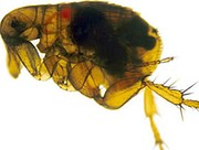 The Oriental rat flea (Xenopsylla cheopis) engorged with blood. This species of flea is the primary vector for the transmission of Yersinia pestis, the organism responsible for bubonic plague in most plague epidemics. Both male and female fleas feed on blood and can transmit the infection.