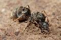 Муравьиная царица Iridomyrmex purpureus роет нору, основывая новую семью
