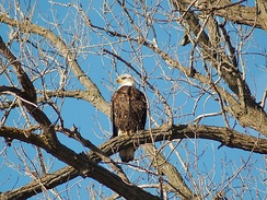 Bald eagle in Burnsville