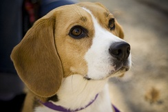 The Kennel Club (UK) standard states the beagle should give the impression of quality without coarseness.