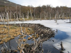 Beaver dams, as this one in Tierra del Fuego, constitute a specific form of zoogeomorphology, a type of biogeomorphology.