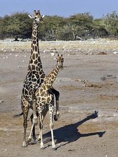 Спаривающиеся ангольские жирафы (Giraffa camelopardalis angolensis) в парке Этоша, Намибия