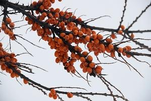 Плоды облепихи на ветке зимой
