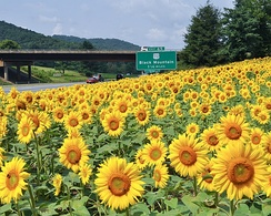A field of sunflowers in North Carolina