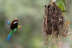 Long-tailed Broadbill building its nest