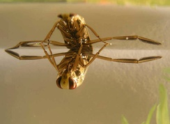 The backswimmer Notonecta glauca underwater, showing its paddle-like hindleg adaptation