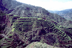 Banaue rice terraces in the Philippines where traditional landraces have been grown for thousands of years