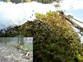 Fresh snow partially covers Rough-stalked Feather-moss (Brachythecium rutabulum), growing on a thinned hybrid black poplar (Populus x canadensis). The last stage of the moss lifecycle is shown, where the sporophytes are visible before dispersion of their spores: the calyptra (1) is still attached to the capsule (2). The tops of the gametophytes (3) can be discerned as well. Inset shows the surrounding, black poplars growing on sandy loam on the bank of a kolk, with the detail area marked.