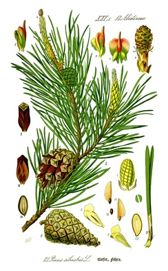 Illustration of needles, cones, and seeds of Scots pine (Pinus sylvestris)
