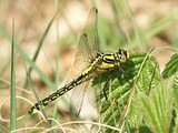 Dragonflies spend most of their lives as nymphs living in the shallow water of marshes.